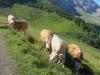 Kühe auf dem Tuniggrat 1900m