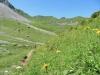 viele Arnika ; Bummerengrat, hi  Regenboldshorn 2193m