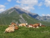 Kuhweide auf dem Metschenstand; Laveygrat 2248m, hi Tierberg 2371m, Seewlihorn 2467m, Sattligrat 2539m,
