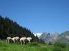 Schafweide  auf dem Bärstein