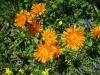 Goldener Pippau, Crepis aurea, Asteraceae
