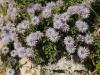 Herzblättrige Kugelblume, Globularia cordifolia, Globulariaceae
