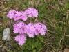 Mehlprimel, Primula farinosa, Primulaceae