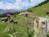 Wollige Kratzdistel, Cirsium eriophorum, Asteraceae; Erzhorn
