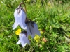 Bärtige Glockenblume, Campanula barbata