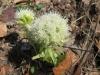Weiße Pestwurz (Petasites albus)  Asteraceae