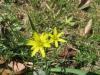 Wald-Gelbstern (Gagea lutea), Liliaceae