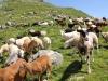 Grieschchumma 2350m; Ziegen -und Schafherde