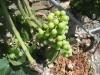 Trauben im Sommer