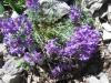 Alpen Leinkraut, Linaria alpina,