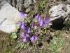 Echtes Alpenglöckchen, Soldanella alpina, Primulaceae