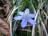 Hepatica; Leberblümchen