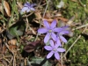 Leberblümchen, Hepatica nobilis,