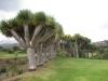 Drachenbäume säumen den Golfplatz