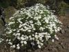 Kanarische Wucherblumen