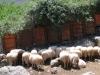 die einzgen Schafe, die wir  bis jetzt sahen