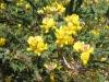 """Kleinblättrige Teline"""" (Teline Mircrophylla)"""