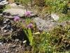 Schnittlauch; Allium schoenoprasum