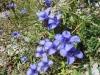 Fransen Enzian, Gentianopsis cilliat