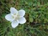 Sumpfherzblatt, Parnassia palustris, Herzblattgewächse, Parnassioideae