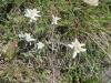 Edelweiss, Leontopodium  nivale, Astereacea