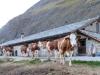 Täschalp 2172m; die Kühe  gehen auf die Nachtweide