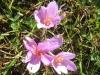 Herbstzeitlose, Cholchium autumnale, Colchicaceae