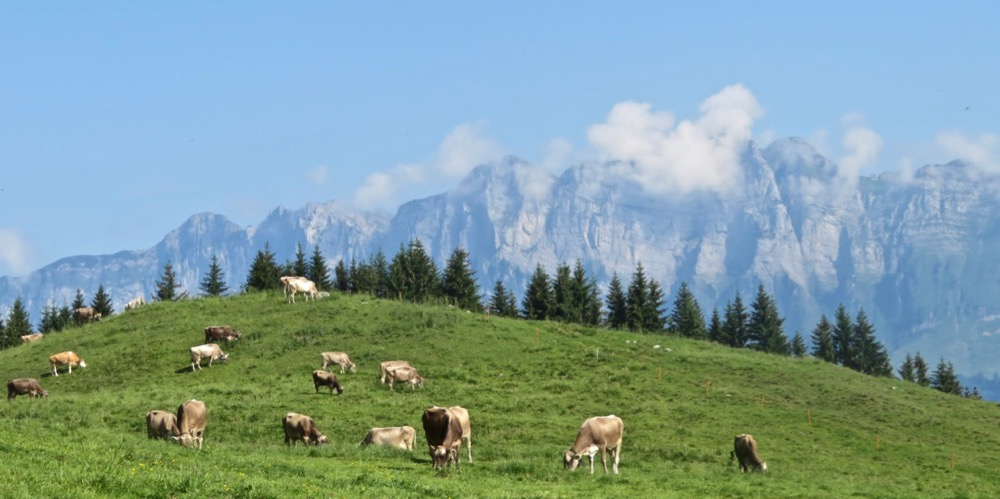 es gibt viele Kühe auf den Flumserbergen; Churfirsten