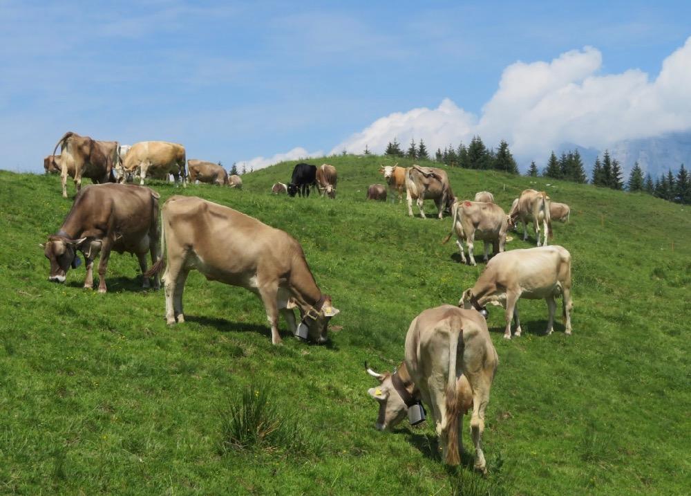 es gibt viele Kühe auf den Flumserbergen