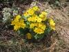 Sumpfdotterblume (Caltha palustris) Ranulaceae