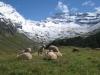 idyllische Schafweide: Balmhorn 3698m,  Gitzifurggu 2912m, Grat zum Ferdenrothorn 3180m
