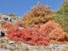 auf dem Weg nach Turtmann; Perückensträucher; Perückenstrauch (Cotinus coggygria)