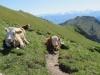 Kühe auf dem Schibenspitz 2059m