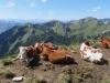 überall  sind Kühe