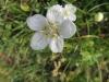 Sumpfherzblatt, Parnassia palustris, Herzblattgewächse