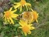 Arnika, Arnica montana; Asteraceae