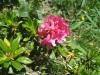 rostblättige Alpenrose