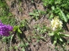 Holunder Knabenkraut,  sambucina, Orchidaceae; gelb und rot