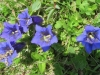 Breitblättriger Enzian, Gentiana acaulis, Gentianacea