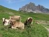 Kühe vor Gauschla 2310m und  Girenspitz 2099m