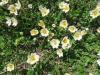 Silberwurz, Dryas octopetala, Rosaceae