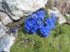 Frühlingsenzianan
