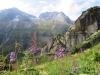 Mittagsstock 2989m, Vorderer Feldschijen 2828mmit Alpen-Milchlattich, Cicerbita alpina, Asteraceae