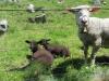 Schafe weiden an der Bineri