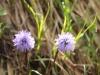 Herzblättrige Kugelblume, Globularia Cordifolia