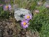 Astera alpina