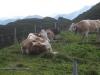 Kühe auf der Alp Bischola  1999m