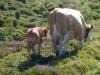 Kuh mit Kalb; mit Zaun von uns gertrennt