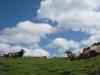 glückliche Kühe ?