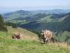 Kühe auf der Hochalp